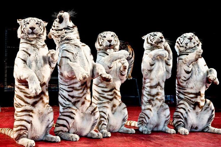Shrine Circus Lions
